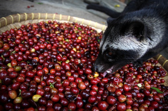Production Of The World's Most Expensive Coffee Thrives In Indonesia